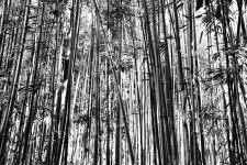 Papier peint Bamboo black and White